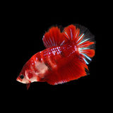 KOI Betta  on black background. KOI Betta on black background. Beautiful fish. Swimming flutter tail flutter Royalty Free Stock Photos