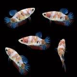 Koi Betta Female sur le fond noir Beaux poissons Flottement de natation de queue de flottement Photographie stock