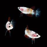 Koi Betta Female sur le fond noir Beaux poissons Flottement de natation de queue de flottement Image libre de droits
