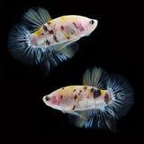 Koi Betta Male sur le fond noir Beaux poissons Flottement de natation de queue de flottement Photo libre de droits