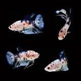 Koi Betta Male sur le fond noir Beaux poissons Flottement de natation de queue de flottement Photographie stock libre de droits
