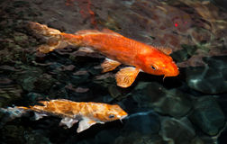 Koi carp. Two koi carp in a pond near the surface, slightly blurred due to water movement stock photography