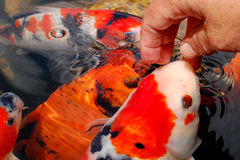 Koi carp. Hand feeding japanese koi carp Stock Photography