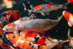 Koi carp. Pond with beautiful coloured japanese koi carp Royalty Free Stock Photos