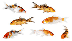 Koi Carp. Isolated on white background with clipping path Royalty Free Stock Photos