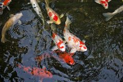 Koi Carp. In pond Royalty Free Stock Photo