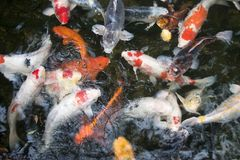 Koi Carp. In pond Royalty Free Stock Image