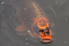 Koi Carp foto de stock royalty free