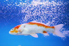 The koi carp in aquarium Stock Image