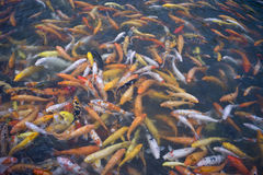 Koi or carp chinese fish in water Stock Photo