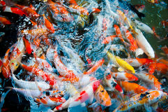 Koi or carp chinese fish in water Royalty Free Stock Image