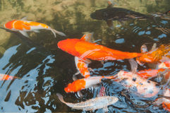 Koi or carp chinese fish in water Stock Images