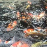 Koi carp stock image