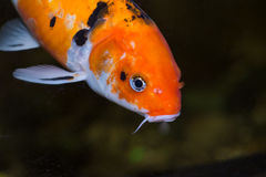 Koi carp fish close up Royalty Free Stock Image