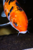Koi carp fish extreme close up Royalty Free Stock Images