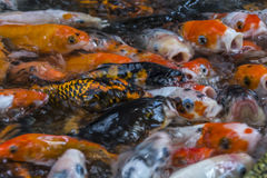 Koi carp fish in a lake all trying to get food Royalty Free Stock Image