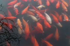 Koi carp fish in the lake. Red carp fish in black water background. Top view. Horizontal Royalty Free Stock Image