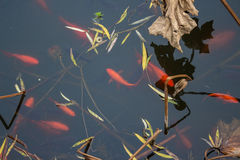 Koi carp fish in the lake. Red carp fish are chasing food in black water background. Top view. Horizontal Royalty Free Stock Photography