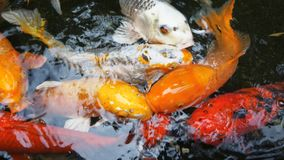 Koi Carp fish Royalty Free Stock Photo