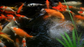 Koi Carp Fish Royalty Free Stock Photography
