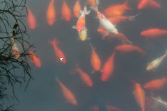 Koi carp fish in the pond. Stock Images