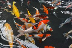Koi carp. Fish in a pool Royalty Free Stock Images