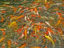 Koi carp fish pound Stock Photo