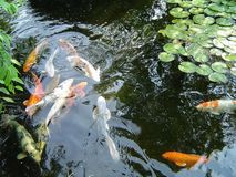 Koi carp fish royalty free stock photos