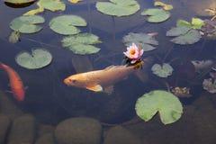 Koi Carp Fish simmar bland näckros i vattnet arkivfoto