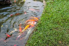 Koi carp fish swimming in a water. Golden fish swimming in pond. stock photos