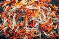 Koi carp fish royalty free stock images