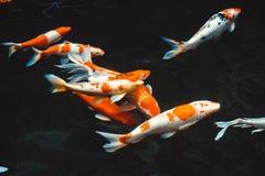 Koi Carp Fishes Japanese Cyprinus di nuoto astratto carpio b Fotografia Stock Libera da Diritti