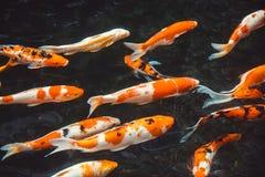 Koi Carp Fishes Japanese Cyprinus que nada abstracto Carpio b Fotografía de archivo libre de regalías