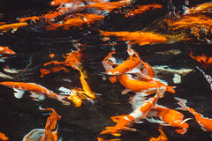 Koi Carp Fishes Japanese Cyprinus que nada abstracto Carpio b Imagen de archivo libre de regalías