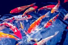 Koi Carp Fishes Royalty Free Stock Photos