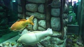 Koi carp fishes stock footage