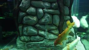 Koi carp fishes stock video