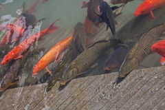 Koi carp at the Golden Temple, Amritsar, Punjab, I Royalty Free Stock Photography