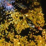 Koi Carp, japanischer großer Fisch, unter Wasser im Garten Stockbild