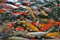 Koi carp or, more precisely, brocade carp-decorative domesticated fish derived from the Amur subspecies of carp. The koi fish is a symbol of luck, prosperity royalty free stock photography