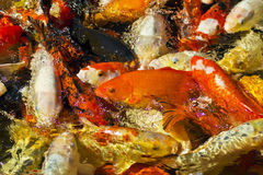 Koi Carp or Nishikigoi gathered together for feeding Royalty Free Stock Photo