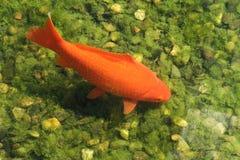 Koi carp Royalty Free Stock Photo