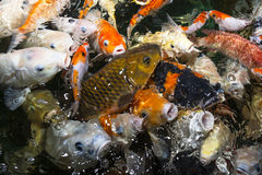 Koi Carp Royalty Free Stock Images