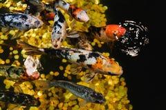 Koi Carp, pescado grande japonés, bajo el agua en jardín Fotos de archivo