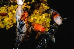 Koi Carp, pescado grande japonés, bajo el agua en jardín Fotografía de archivo