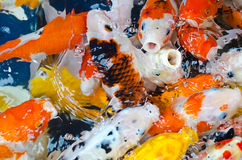 Koi Carp. In a pond Stock Image