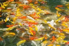 Koi Carp in a pond Royalty Free Stock Photography