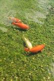 Koi carp Royalty Free Stock Photography