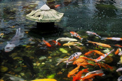Koi Carp in pond Stock Photo