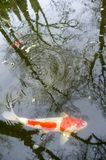 Koi carp in the pond. Red and white koi carp spinning in the pond stock images